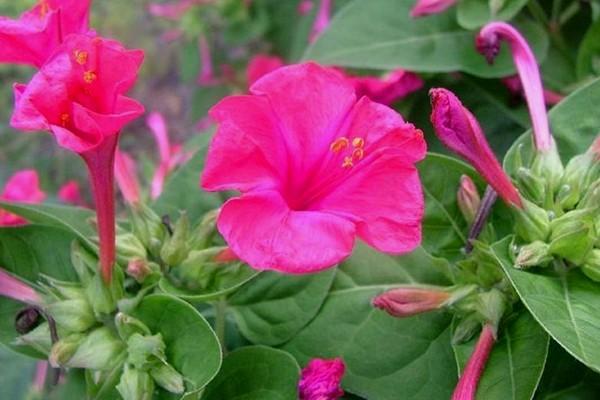 15 Manfaat Bunga Pukul Empat Bagi Kesehatan dan Kecantikan