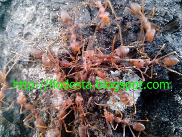 Mengatasi Pertempuran semut rangrang beda Koloni