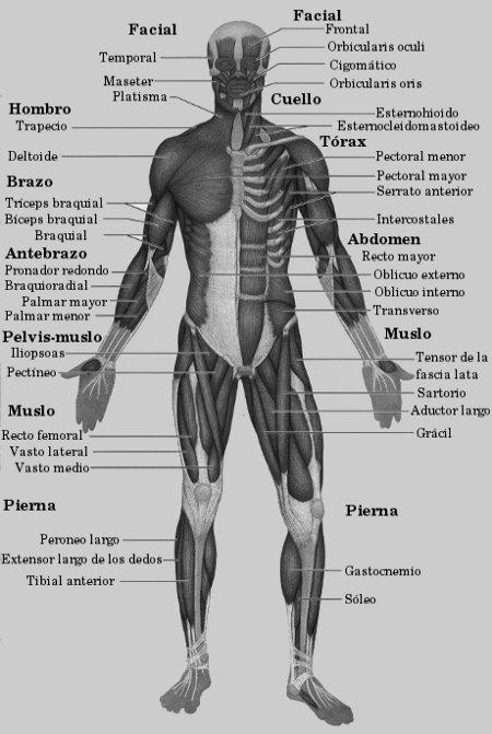 English school: Los músculos y los huesos del cuerpo humano