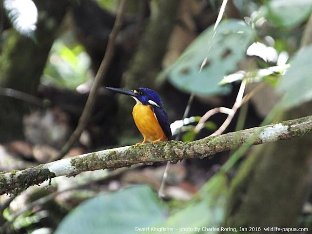 Tropical birding in Indonesia