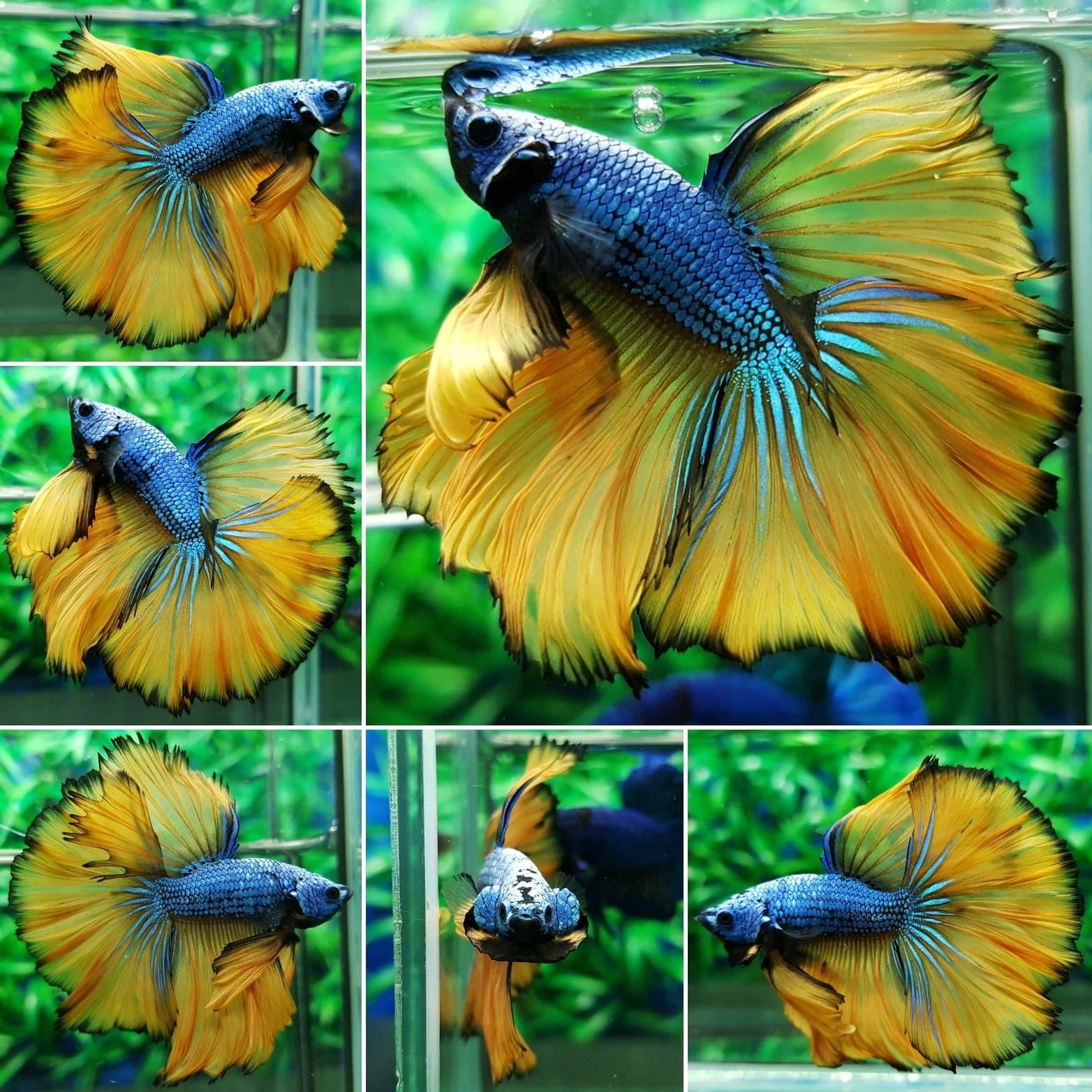 Betta Aquarium King