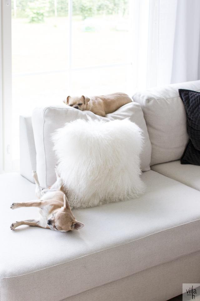 olohuone, interior, chihuahua, koirat