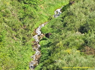 Oso pardo en Asturias
