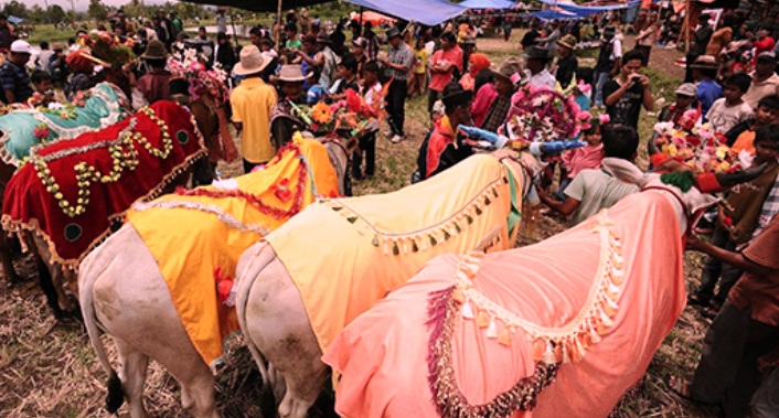 Tradisi Unik Pacu Jawi ( Sapi ) Sumatera Barat