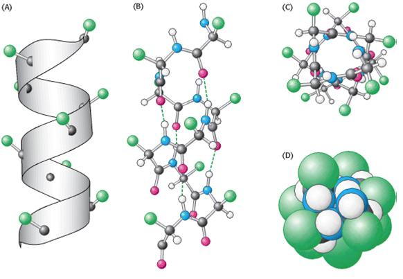 alpha helix depicted in ribbon, ball and stick and space filling model  diagrams