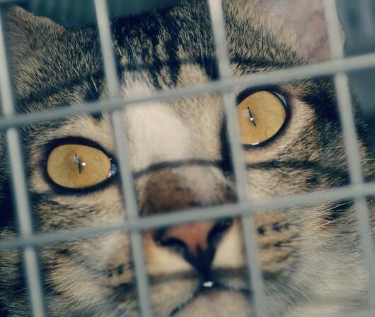Cara Merawat Kucing Hamil Sampai Melahirkan Hobinatang