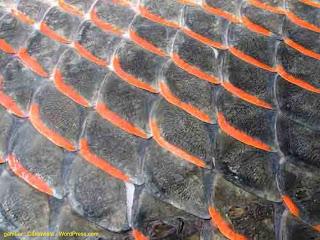 Mengenal Lebih Jauh Jenis Sisik Ikan