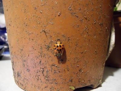 ladybird-on-a-plant-pot