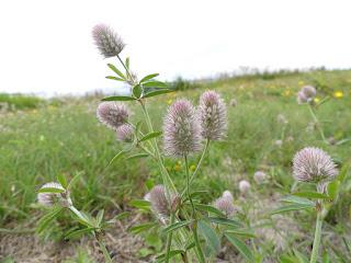 Trèfle Pied-de-lièvre - Trifolium arvense