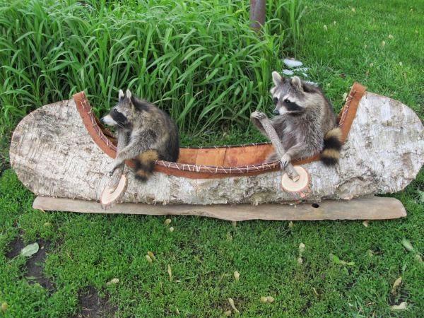 Funny Canoeing Raccoons Joke Picture