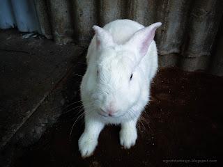 A White Rabbit Hiding At The Corner Of The House Yard At Tuka Village, Badung, Bali, Indonesia