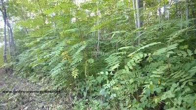 Ailanto, árbol de jardín