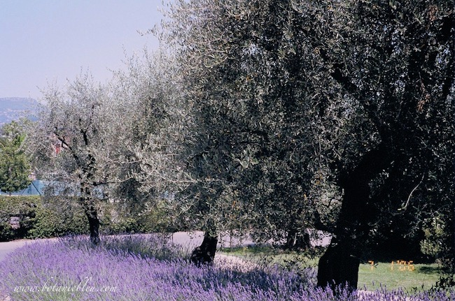 French lavender growing beneath olive trees in Provence France