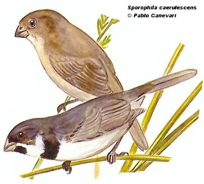 Double collared Seedeater