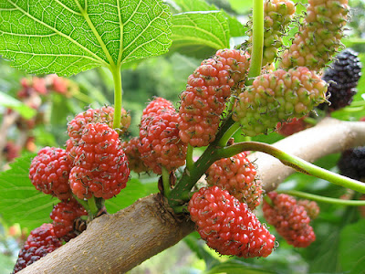 Khasiat Buah Mulberry