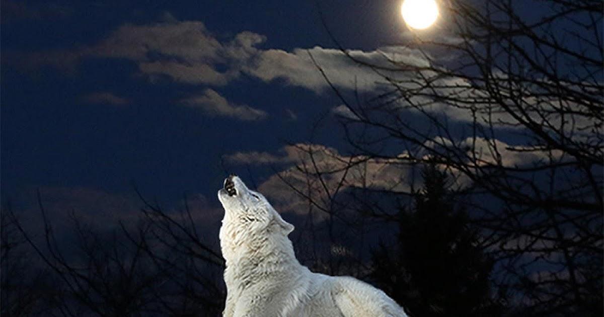 Cute Wallpaper In Twitter Chrionex White Wolf Aesthetics