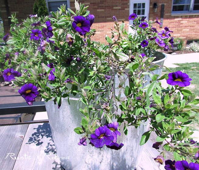 Annual Flower - Petunia