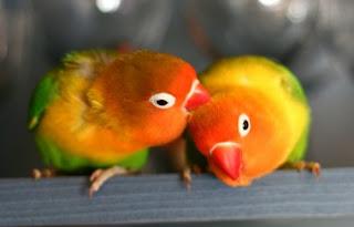 Jenis Lovebrid - Lovebird Kaca Mata Fischer (Agapornis Fischeri) - Penangkaran Burung Lovebrid