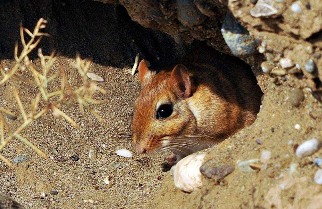 Gerbil bones attest to successful Byzantine agriculture in the Negev
