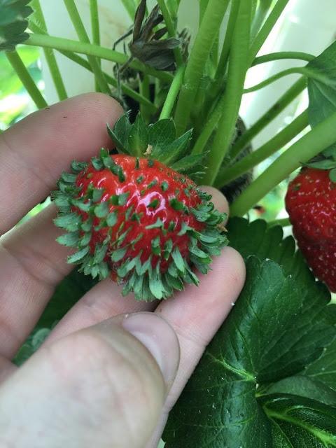 イチゴが発芽する様子がかなりキモい【n】