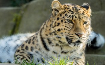 Wallpaper: Amur Leopard