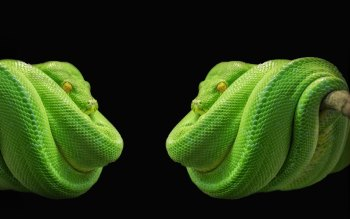 Wallpaper: Green Tree Python