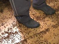 Jutaan Kumbang Invasi Pemukiman Warga Lipova