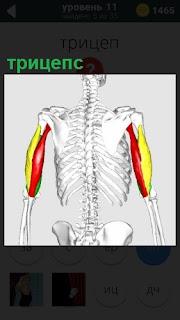 На скелете человека показано местонахождение мышцы плеча трицепс
