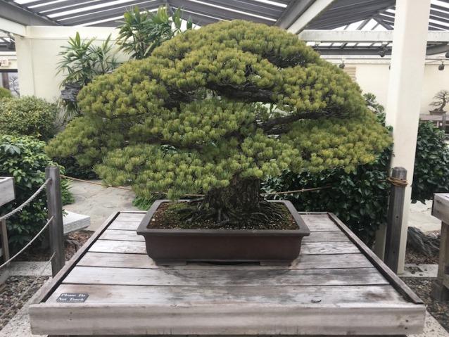 Bonsai de 391 años que sobrevivo a Hirosima