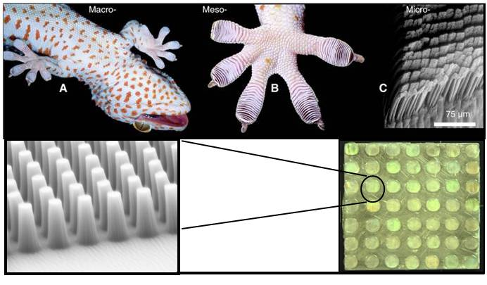 biologically inspired adhesives Using a wide variety of methods, we study mechanical systems and materials, which emerged during biological evolution some of these adhesive systems employ secretory substances, modulating forces in the contact area, or bear the capability of operating underwater.
