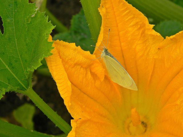 warzywa, motyle, ogród