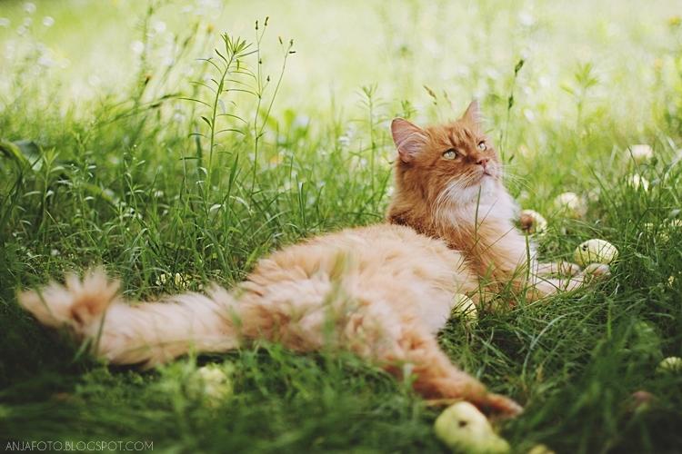 kot, koty, fotografia zwierząt, fotografia kotów, kot norweski leśny, fotograf łomianki, canon 50mm 1.4