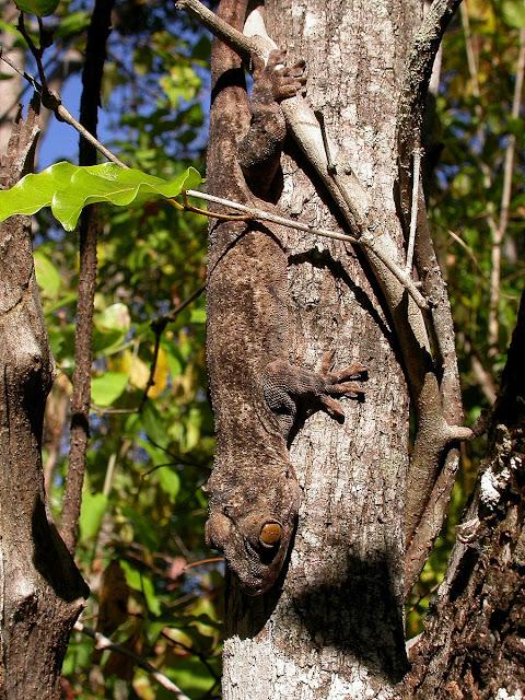 Paroedura stumpffi
