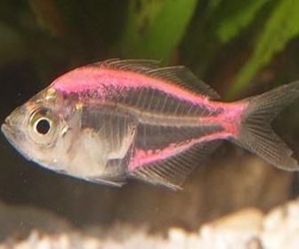 Ikan Kaca atau Glass fish