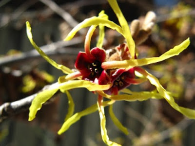 Arnold Promise Hamamelis x intermedia witch hazel flower by garden muses-not another Toronto gardening blog
