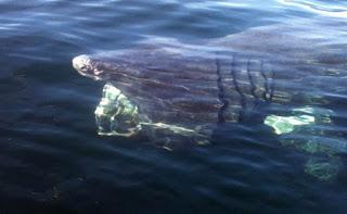 gambar basking hiu dari atas permukaan air