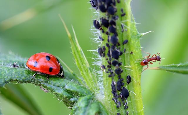 mszyce i mrówki symbioza