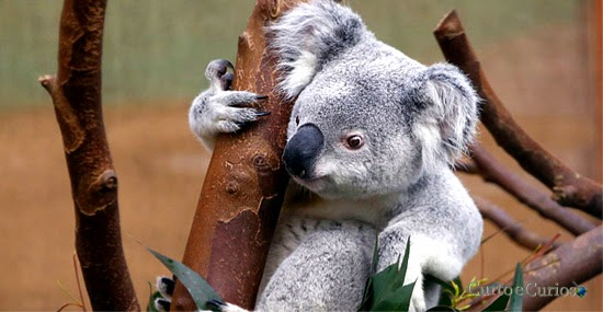 australia mata 700 coalas