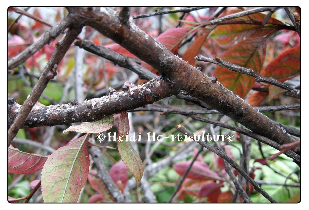 Heidi Horticulture Black Scale On Purple Leaf Sand Cherry Prunus