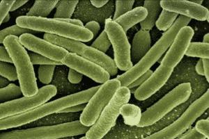 Methylocella silvestris, un tipo de bacteria metanótrofa