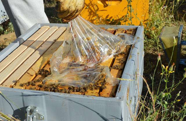 Το σοβαρότερο λάθος που κάνουν οι μελισσοκόμοι πριν τη καταπολέμηση της βαρρόα...