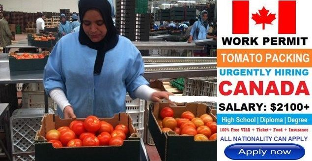 Apply For Tomato Picker Job Vacancies In Canada | Apply Now With Free Visa