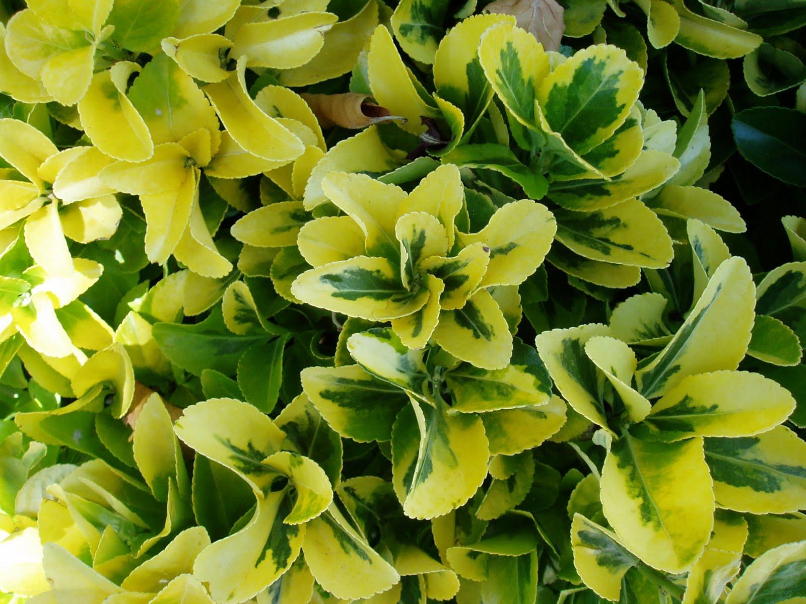 Ev nimo euonymus japonicus plantas riomoros - Plantas para hacer setos ...