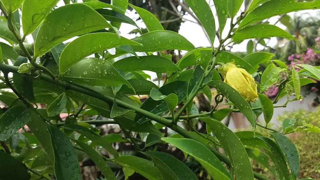 Medicine newbie thick waxy leaves and fragrant bright yellow flower or hirva chafa ccuart Images