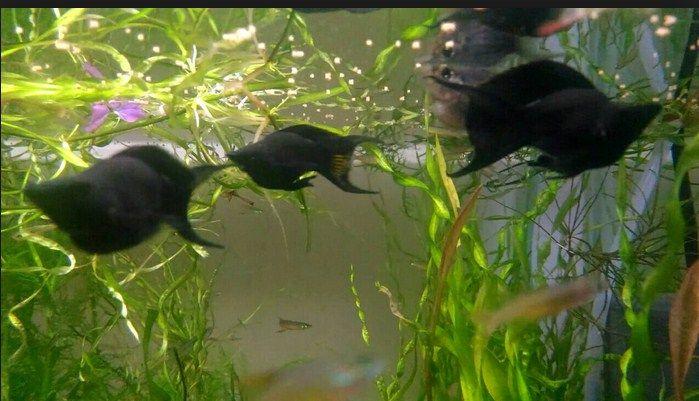 Budidaya ikan black molly