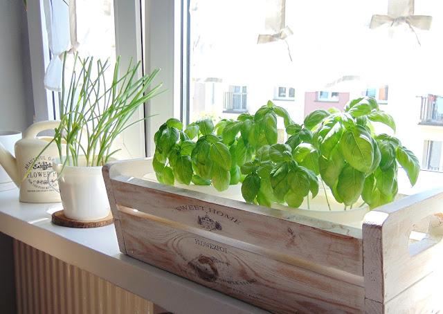 jak sadzić bazylię