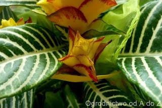 Aphelandra squarrosa