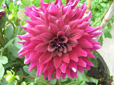 Φύτεμα καλλιέργεια: λουλούδια από βολβούς
