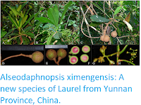 http://sciencythoughts.blogspot.co.uk/2018/01/alseodaphnopsis-ximengensis-new-species.html