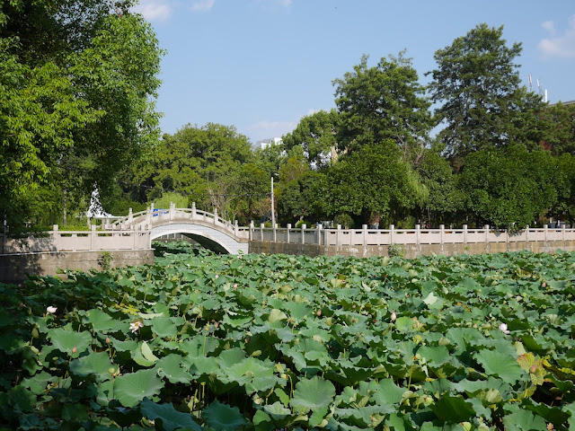 lotuses and a bridge Bajiao Pond (八角塘)